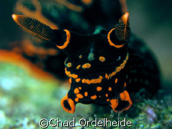 Nembrotha kubaryana head shot! by Chad Ordelheide 